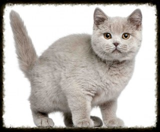 Chatons British Shortair
