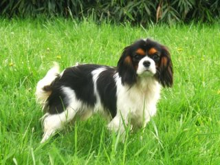 prochainement  chiots Cavalier King Charles