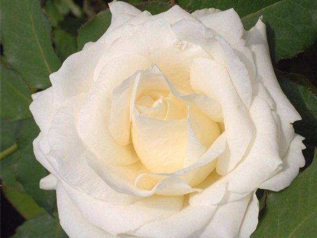 rosiers virgo