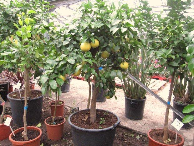 citrus paradisi-pamplemousse rase