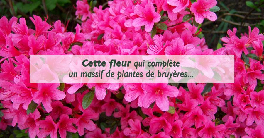 azalees-entretien-jardinerie-frontignan