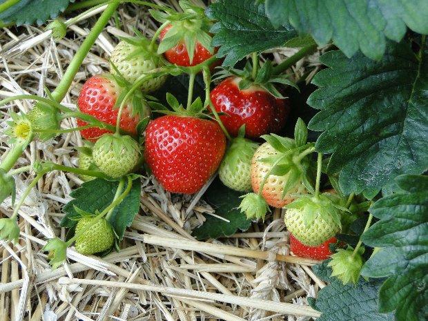fraisiers