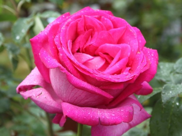 rosiers xxl