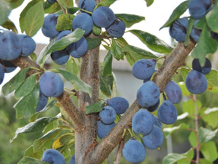 prune bleu de belgique