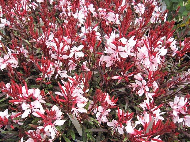 gaura roses