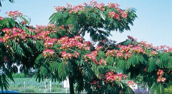 Albizia julibrissin 'Pompadour'