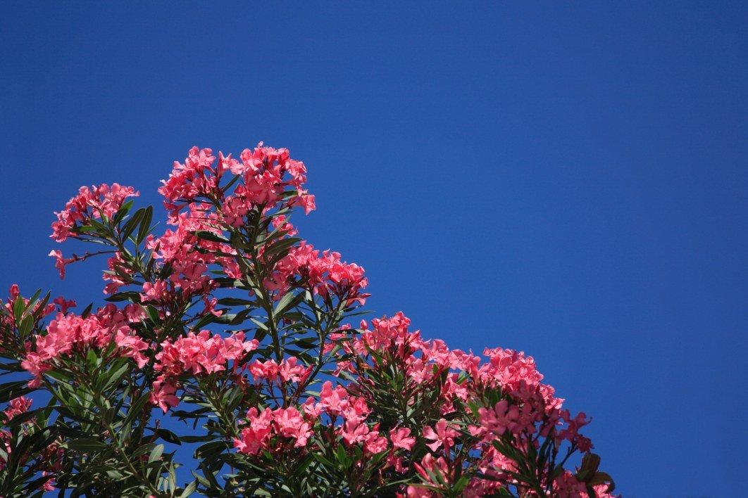 comment-entretenir-ses-lauriers-roses-jardinerie-frontignan