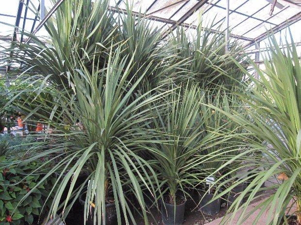 dracaena-cordyline indivisa