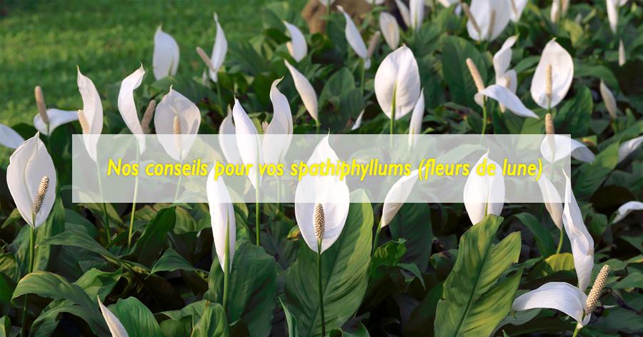 entretenir-spathiphyllums-jardinerie-frontignan