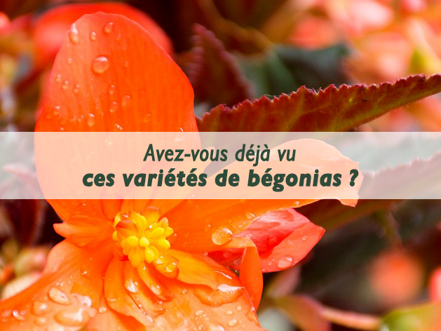 entretien-begonias-les-serres-du-mas-reboul
