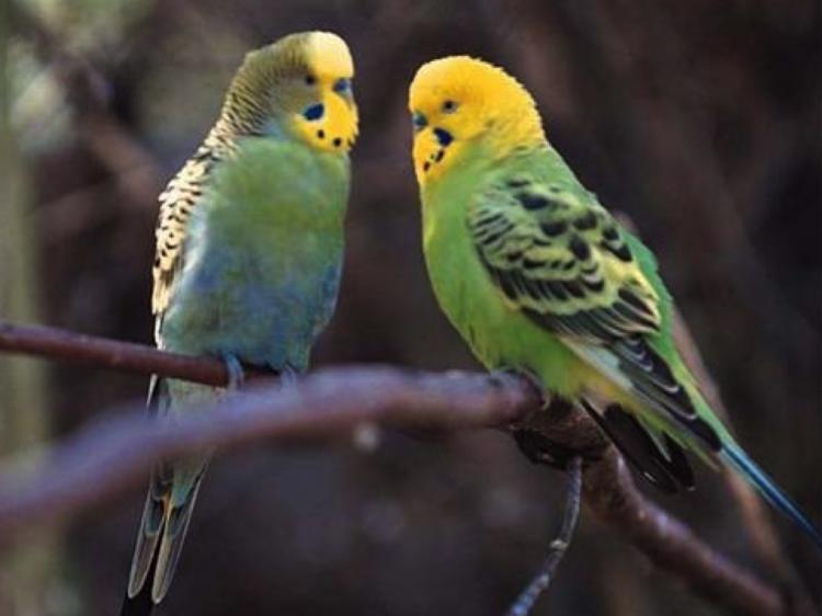 Oiseaux de compagnie