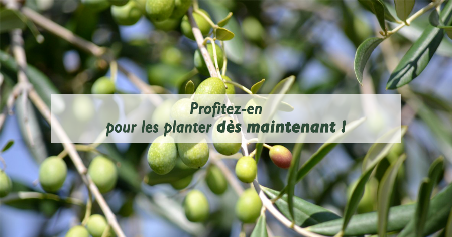 planter-un-olivier-conseils-pratiques