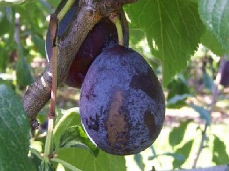 prune belle de louvain