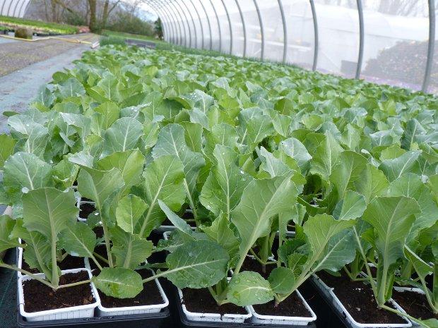plants chou-fleur culture