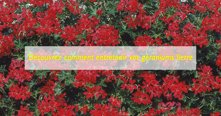 entretenir-ses-geraniums-lierre-jardinerie-frontignan