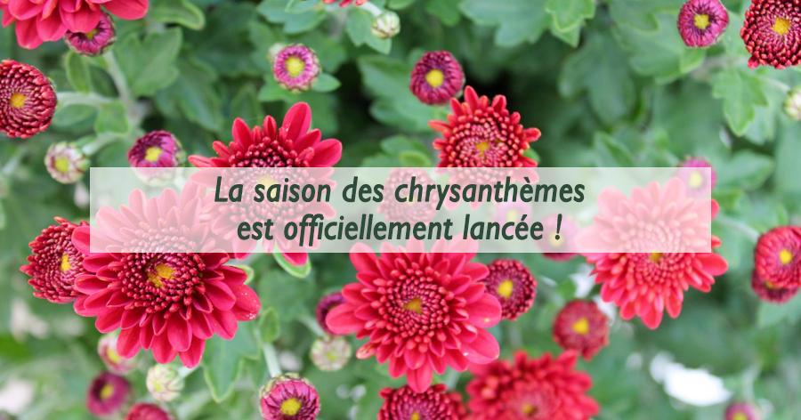 chrysanthemes-jardinerie-frontignan-thau