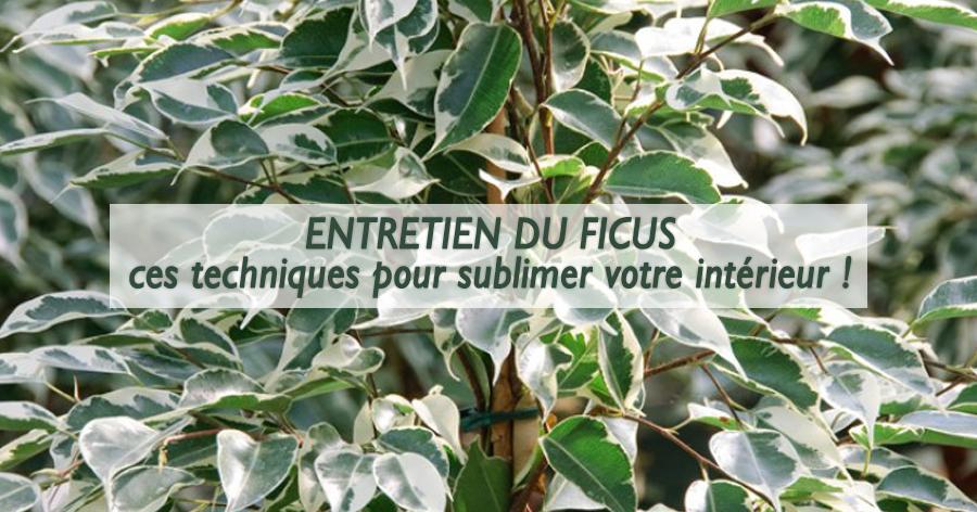 entretenir-ficus-conseils-jardinerie-frontignan