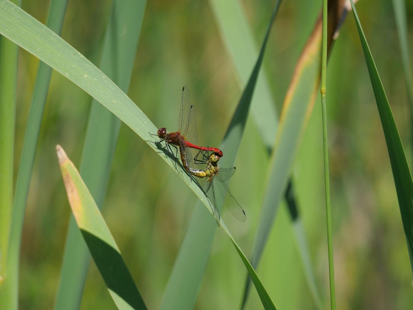 2 libellules