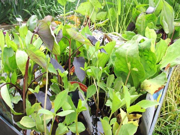 plantes de bassin