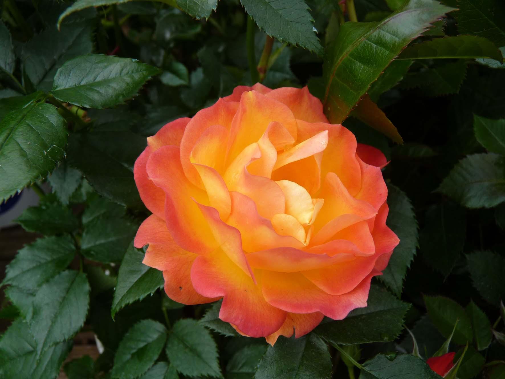 rosiers - fleur de rosier