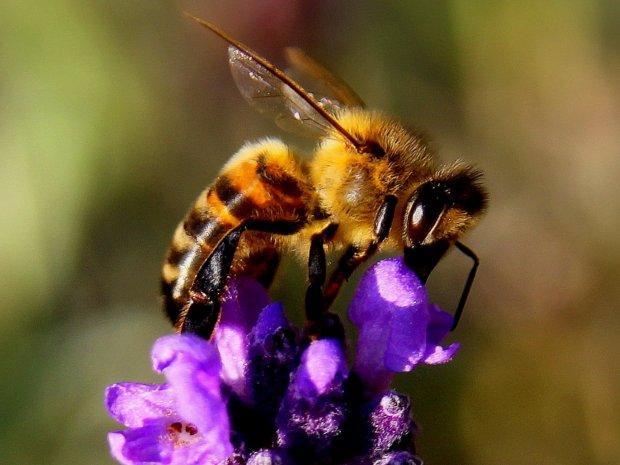 Abeille et apiculture