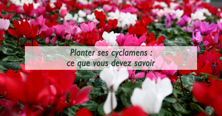 cyclamen-frontignan-serres-du-mas-reboul