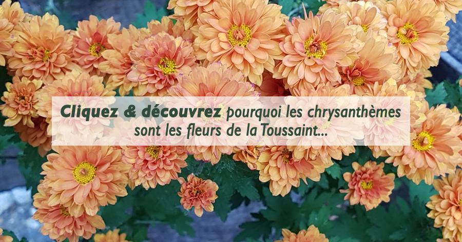 v nement cliquez d couvrez pourquoi les chrysanth mes sont les fleurs de la toussaint. Black Bedroom Furniture Sets. Home Design Ideas