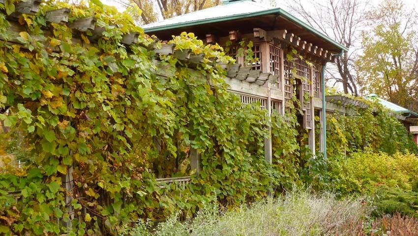 plantes grimpantes - vigne