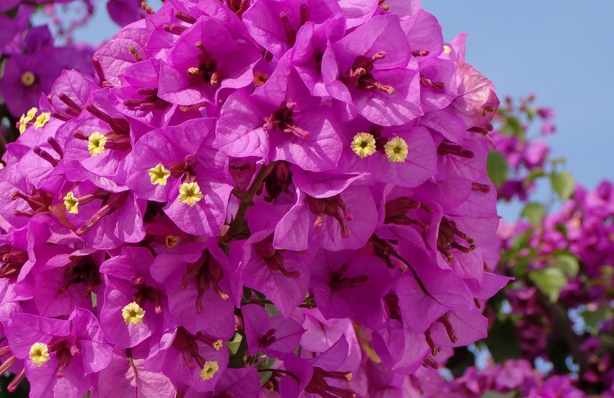 entretenir-ses-bougainvilliers-jardinerie-frontignan