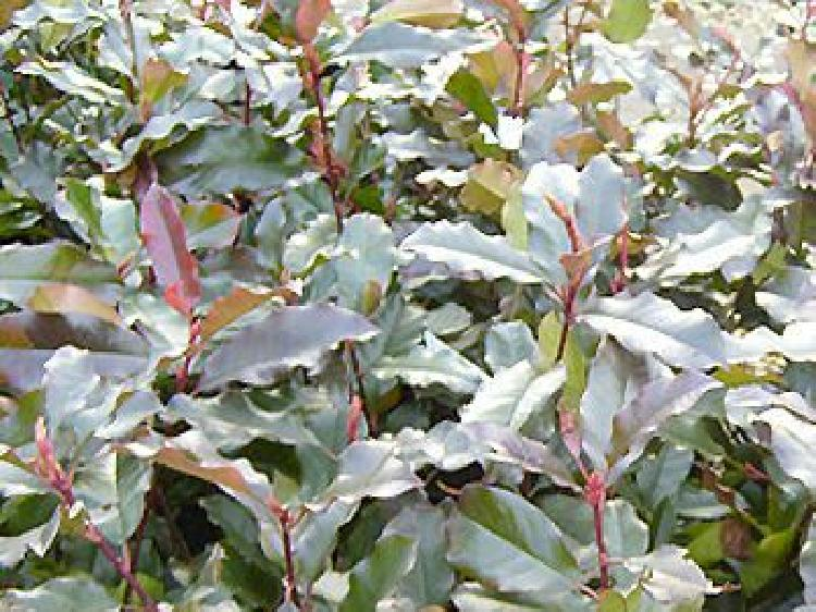 Photinia x fraseri 'Camilvy'