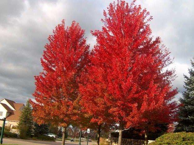 Acer platanoïdes 'Automn Blaze'