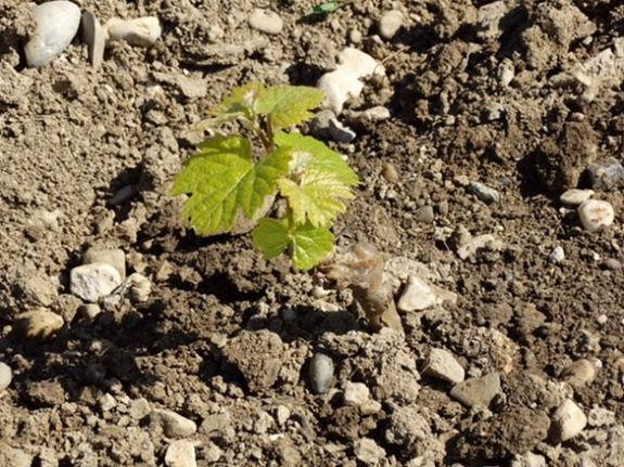 plant de vigne