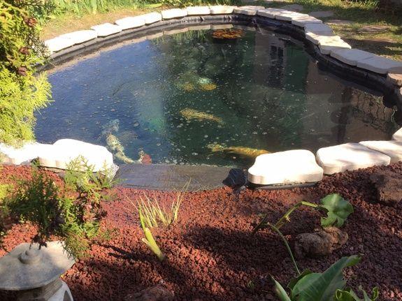 bassin naturel avec carpe kois